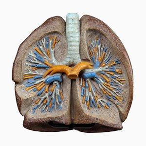 Modèle d'Enseignement Anatomique Tchèque Lungs, République Tchèque, 1950s