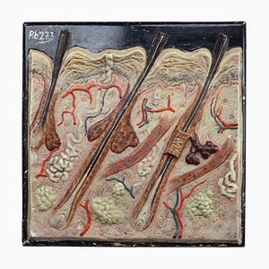 Czech Anatomical Teaching Model Wood and Plaster on Metal Base, 1930s