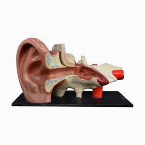 Large Anatomical Teaching Human Ear Model Plaster & Wood from Deutsches Hygiene Museum Dresden, 1930s