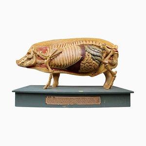 Modèle Anatomique d'un Cochon, Allemagne, 1930s