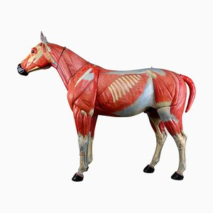 Large Anatomical Model of a Horse from Somso, 1920s