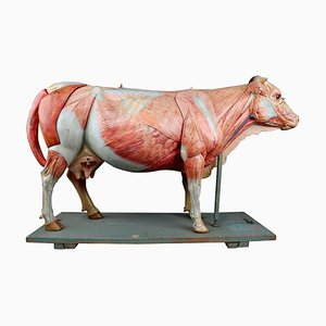 Grand Modèle Anatomique Antique d'une Vache de Somso, Allemagne, 1910
