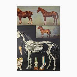 Wall Horse School Chart by Jung Koch Quentell, 1970s