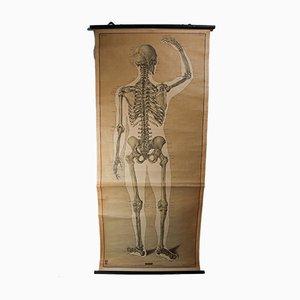 Affiche Educative Squelette, 1970s
