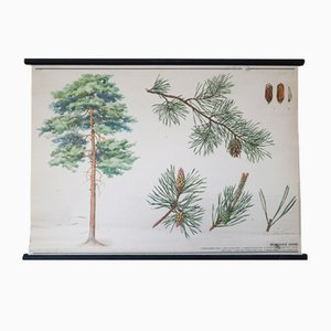 Czech Borovice lesní or Pinus sylvestris Wall Chart, 1988