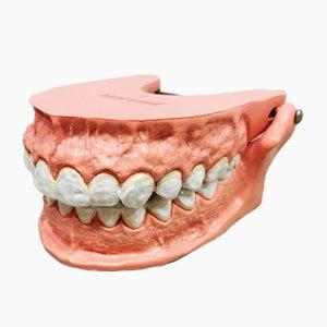Modelo anatómico vintage de los dientes, años 70