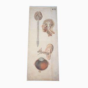 Vintage Anatomische Schulposter