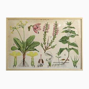 Illustrazione botanica floreale su carta, anni '50