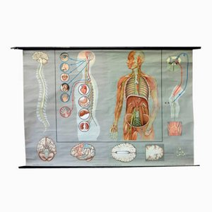 Vintage School Poster of the Nervous System