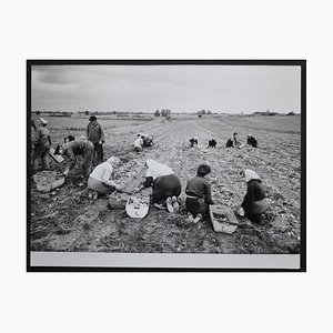 Potato Harvest Postwar, 1950s