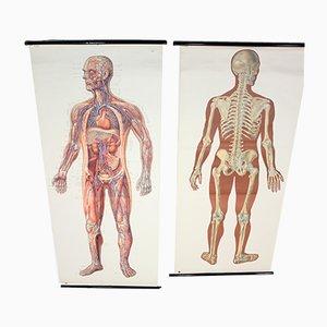 Cartas anatómicas alemanas Mid-Century de Deutsches Hygiene Museum, años 50. Juego de 2