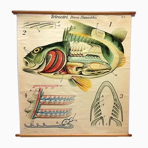 Anatomical Freshwater Fish Perch School Lithograph Poster from Prof. Dr. Paul Pfurtscheller, 1920s