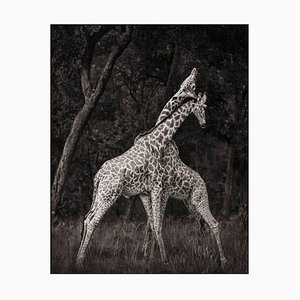 Nick Brandt, Monumental Photo - Giraffes, Masai Mara 2008