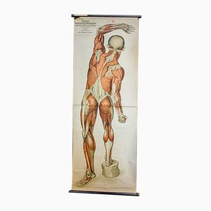 Vintage Anatomical School Map Poster of Musculature, 1950s