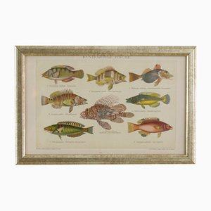 Austrian Buntfarbige Fische Lithograph, 1885