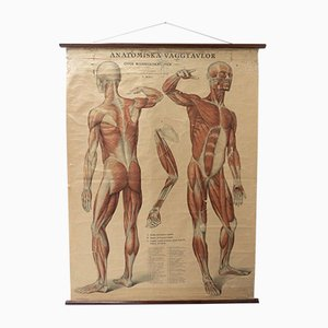 Vintage Swedish Anatomical Medical Wall Hanging