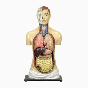 Modelo anatómico vintage, años 40