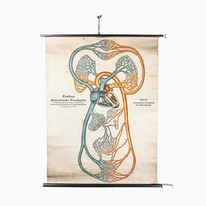 Vintage German Anatomical Circulation Chart