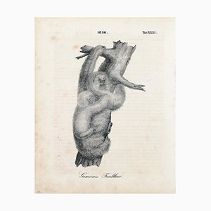 Couple of Sloths - Original Lithograph - 1828 1828