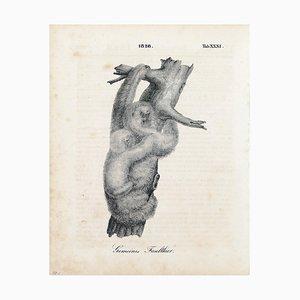 Paar Faultiere - Original Lithographie - 1828 1828