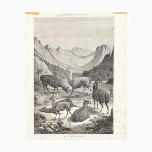 Llams - Original Lithographie - spätes 19. Jahrhundert spätes 19. Jahrhundert