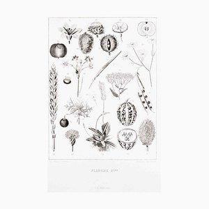 Planche 2 - Les Fleurs Animées Vol.II - Lithographie von JJ Grandville - 1847 1847