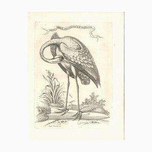 Gran Grue Della Baia d'Hudson - Original Radierung von Andrea Scacciati The Younger 1763