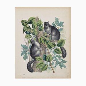 Eichhörnchen mit Haselnüssen - Original Lithografie - 1860 1860