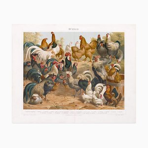 Chicken and Hens - Original Lithograph - Late 19th Century 1890s