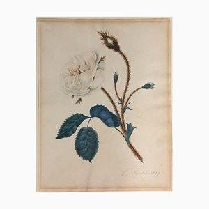 C. Curtis, Moss Rose Moosrose, 1827, Aquarelle