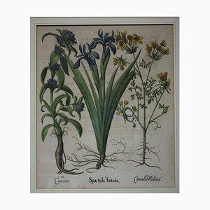Basil Besler, Hortus Eystettensis, Engraving