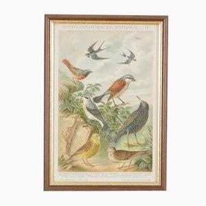 Litografía alemana antigua de colibríes, 1895