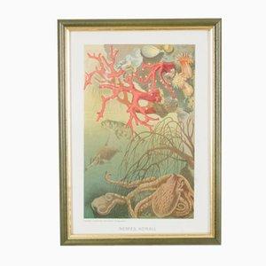 Antike ungarische Lithographie von Coral, 1901