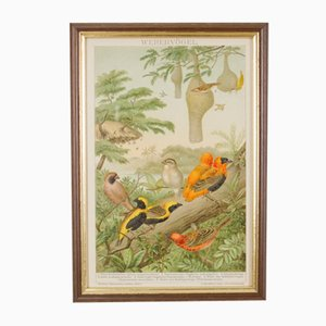 Antique German Lithography of Humming Birds, 1895