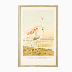 Antique German Lithography of a Flamingo, 1897