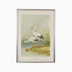 Antique Austrian Lithography of Storks, 1897