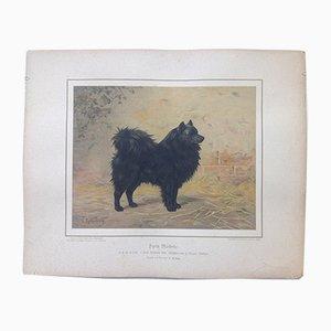 H. Sperling for Wilhelm Greve, Black Spitz Dog, Antique Chromolithograph of a Purebred Dog