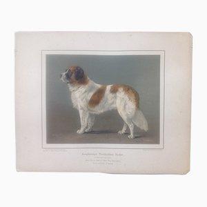 H. Sperling for Wilhelm Greve, Long-Haired Bernardiner Dog, Antique Chromolithograph of a Purebred Dog