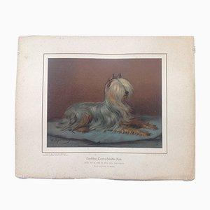 H. Sperling di Wilhelm Greve, cane Yorkshire Terrier, antico cromolitografia di un cane di razza