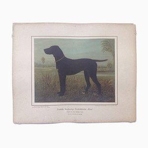 H. Sperling para Wilhelm Greve, perro de presa alemán de pelo corto, cromolitografía antigua de un perro de pura raza