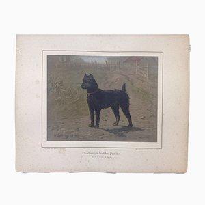 H. Sperling para Wilhelm Greve, perro pinner alemán de pelo largo, cromolitografía antigua de un perro de pura raza