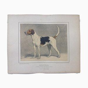 H. Sperling para Wilhelm Greve, raposero, cromolitografía antigua de un perro de pura raza