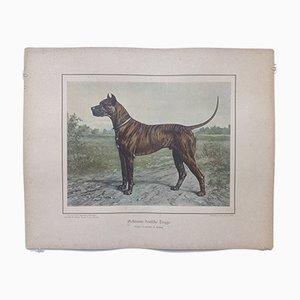 H. Sperling for Wilhelm Greve, Brindle Great Dane Dog, Antique Chromolithograph of a Purebred Dog
