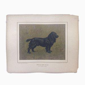 H. Sperling für Wilhelm Greve, Schwarzer Feldspanielhund, Antike Chromolithographie eines reinrassigen Hundes