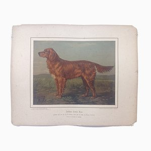 H. Sperling für Wilhelm Greve, Irish Setter Dog, Antike Chromolithografie eines reinrassigen Hundes