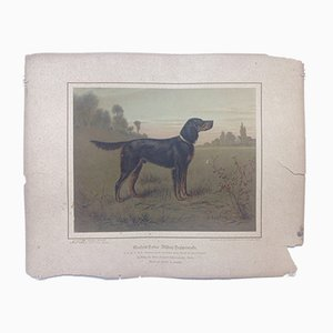 H. Sperling for Wilhelm Greve, Gordon Setter Dog, Antique Chromolithograph of a Purebred Dog