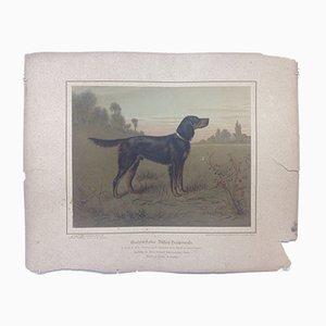 H. Sperling für Wilhelm Greve, Gordon Setter Hund, Antike Chromolithografie eines reinrassigen Hundes