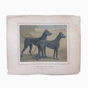 Chien H. Sperling pour Wilhelm Greve, Chien Great Danes, Chromolithographie Antique d'un Chien de Race Pure