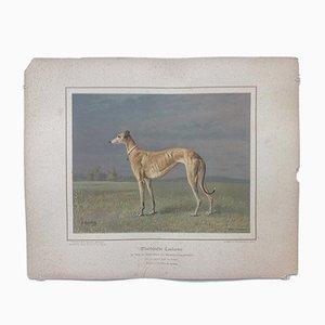 H. Sperling para Wilhelm Greve, perro galgo, cromolitografía antigua de un perro de pura raza
