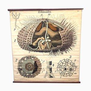 Antikes Schul Seeigel Poster von Prof. Dr. Paul Pfurtscheller für A Pilcher's Witwe & Son.